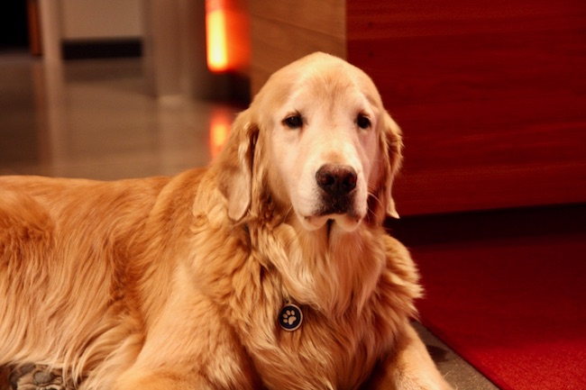 Barkly, the hotel's ambassador. Photo courtesy of Hotel Indigo