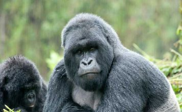 A silverback gazes over his family in the jungles of Rwanda. Photo by Volcanoes Safaris