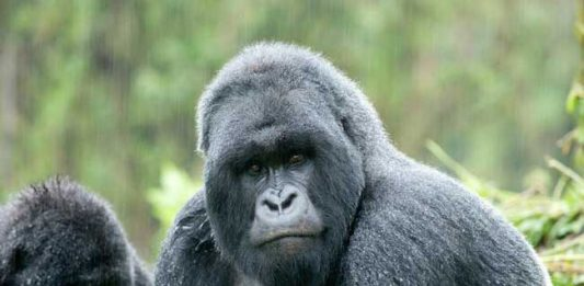 Volcanoes Safaris: Gorilla Trekking in Uganda and Rwanda