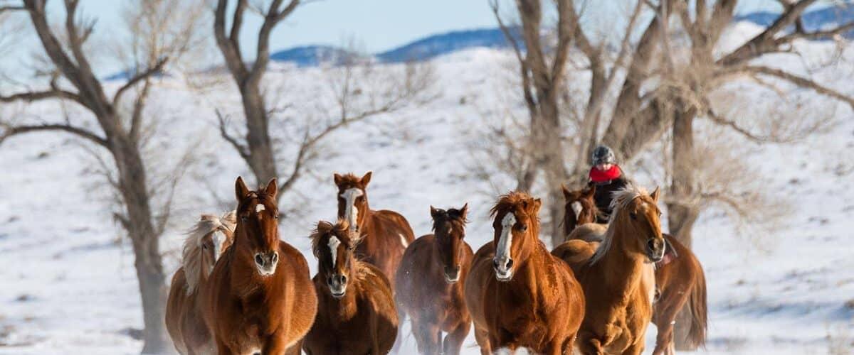 Horses gallop through winter snow in Colorado.