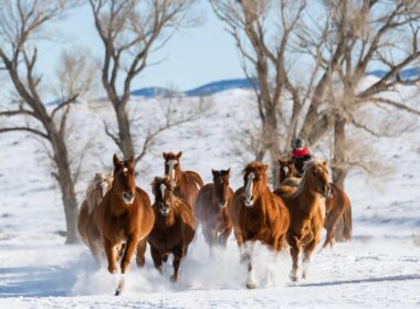 Horses gallop through winter snow in Colorado.
