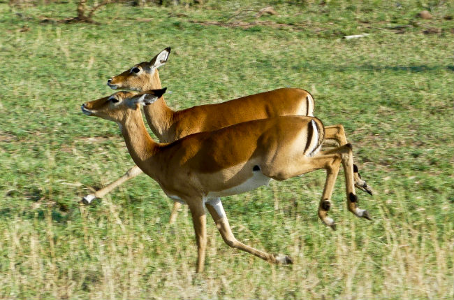 Serengeti Impalas have to be fast to escape their predators. Photo by Christine Loomis