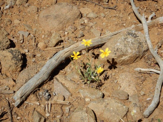 Taos Wildflowers surrounded us as we climbed to Devisadero Peak. Photo by Dorothy Maillet