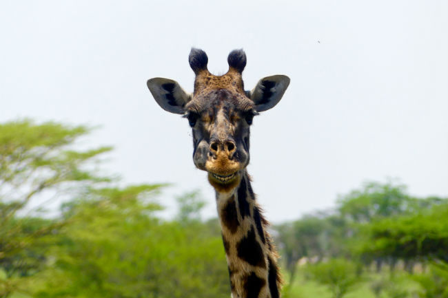 Giraffes are a common sight in the Serengeti. Photo by Christine Loomis