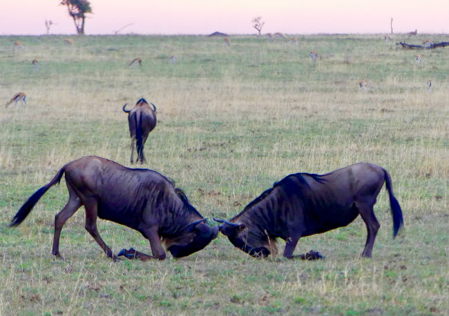 Serengeti Wildebeests working on their fighting skills. Photo by Christine Loomis