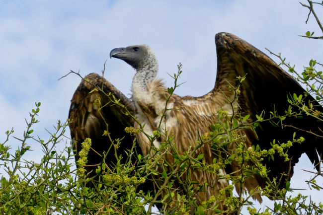 Vultures are a vital part of the Serengeti. Photo by Christine Loomis