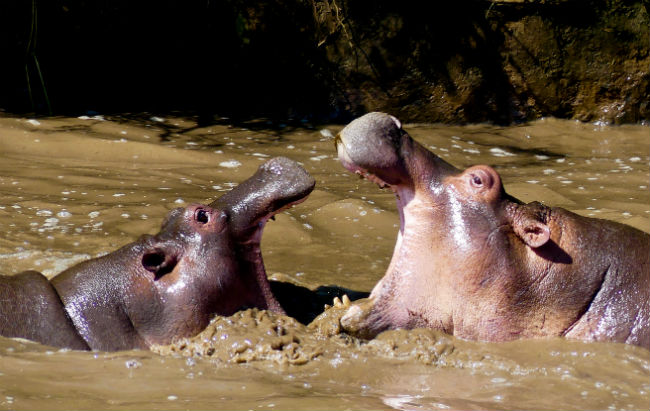 Serengeti Hippos wallow here year-round. Photo by Christine Loomis