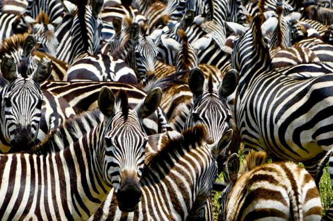 A group of zebra. Photo by Christine Loomis