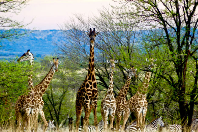 Giraffes walking through the Serengeti. Photo by Christine Loomis