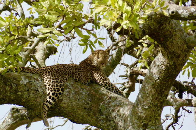 Serengeti A leopard lounging in a tree. Photo by Christine Loomis