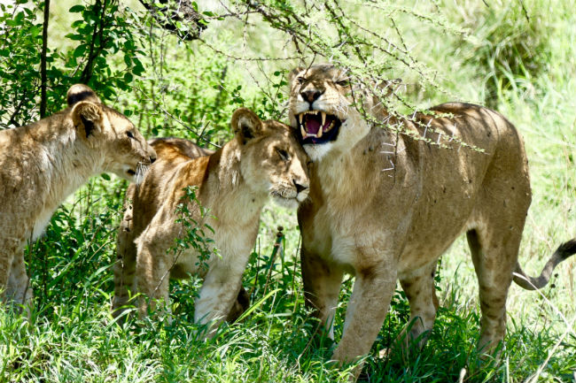 Mother lions have a warm reunion when they return from hunting. Photo by Christine Loomis