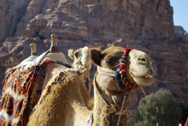 Petra A smiling camel. Photo by Christine Loomis