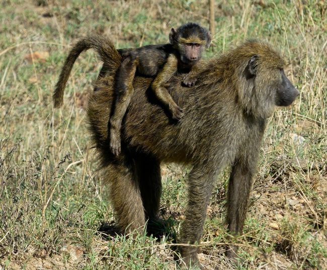 Baby baboons stay with their moms for the first few weeks of their lives. Photo by Christine Loomis