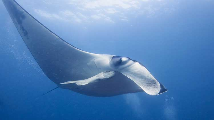 Giant manta ray in Palau