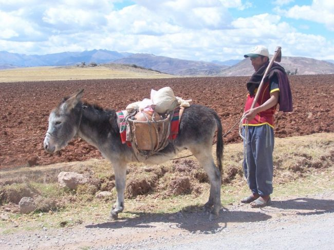 Two figures emerged from the dust: A chicha distributor, Manco, and his burro. Photo by Carol L. Bowman