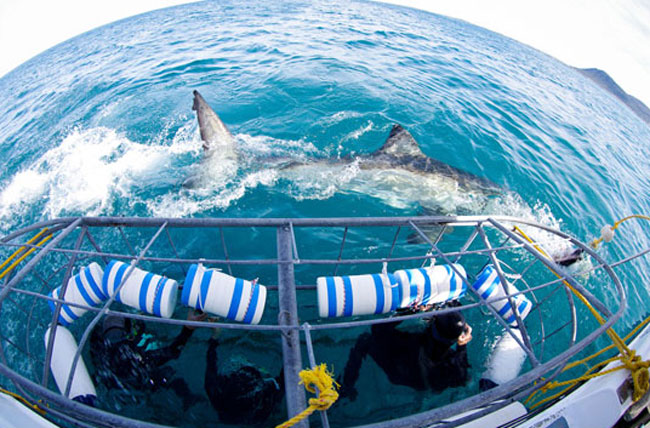 Cage diving with great white sharks. Photo by South African Tourism
