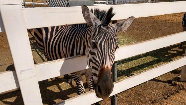 Zebra in Malibu