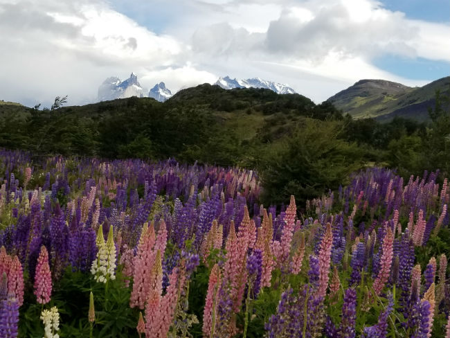Lupine meadows in Torre del Paine. Photo by Linda Ballou