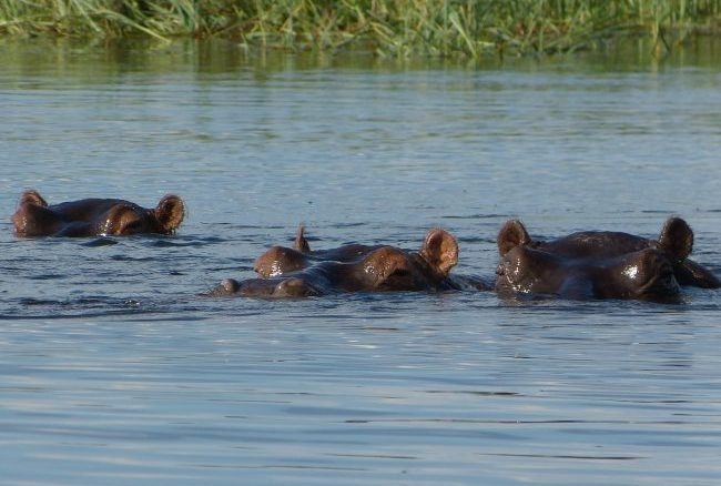 Okovongo A group of hippos. Photo by Yvonne Michie Horn