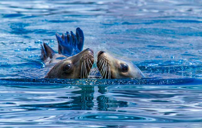Sea lions seem to kiss while playing. Photo by La Paz Tourism