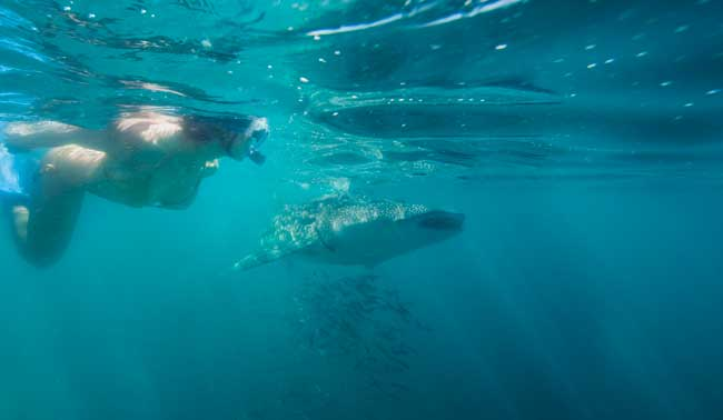 Snorkeling with whale sharks. Photo by La Paz Tourism