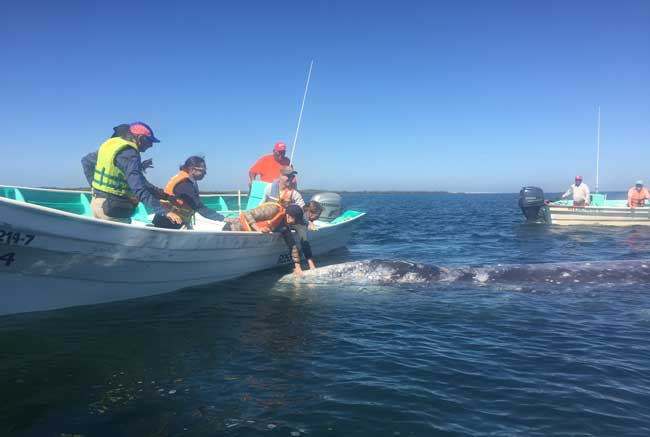 A gray whale approaches a small group of whale watchers in Magdalena Bay. Photo by Janna Graber