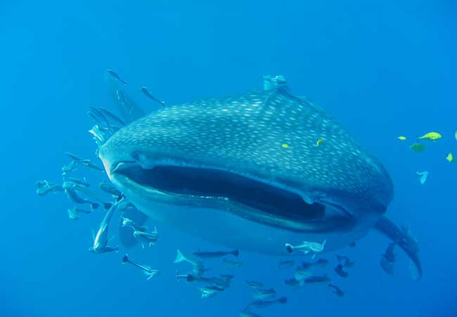 Whale sharks are filter feeds, and pose no threat to humans. Flickr/ Olivier ROUX