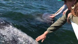 Humans and Gray Whales Meet at Magdalena Bay