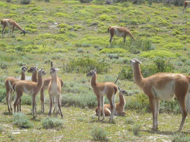 During the drive to Torre del Paine, we passed many herds of doe-eyed guanaco. Photo by Linda Ballou