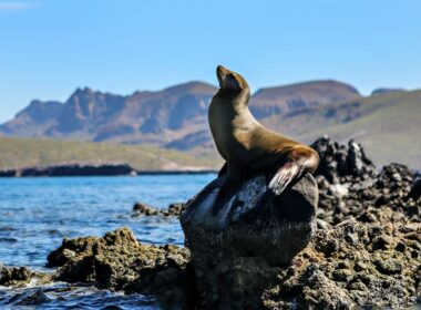 Sea Lion on a rock at the Sea of Cortez.