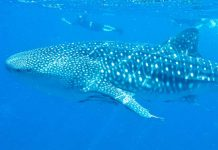 Snorkeling with whale sharks near La Paz, Baja California Sur, Mexico. Flickr/Julie Edgley