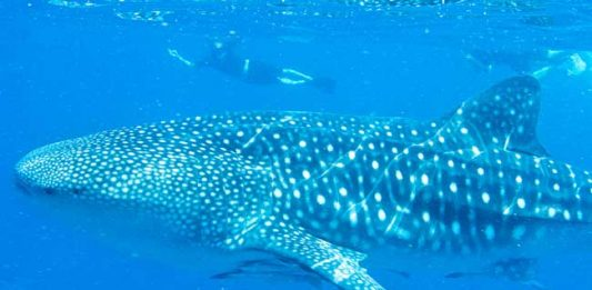 Swimming with Whale Sharks in the Sea of Cortez