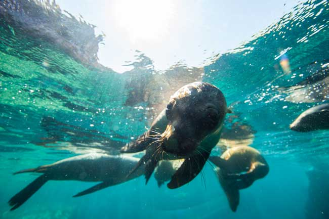 Swimming with sea lions in the Sea of Cortez. Photo by La Paz Tourism