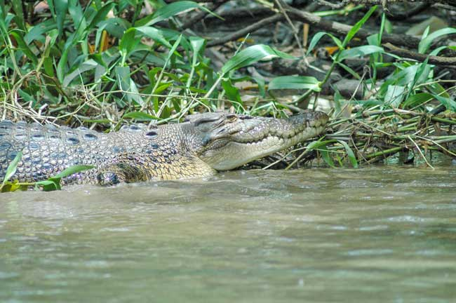 A salt water crocodile in the Daintree Rainforest. Photo by Tim Downs
