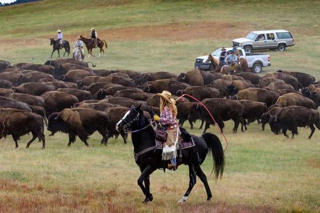 Pickups accompany the herd for safety during the annual Buffalo Roundup. Photo by Travel South Dakota