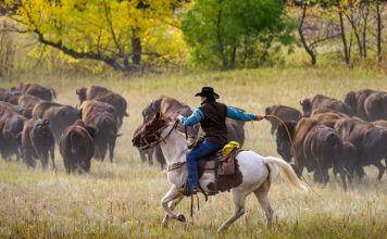 The annual Buffalo Roundup takes place each September at Custer State Park in South Dakota. Photo by Travel South Dakota