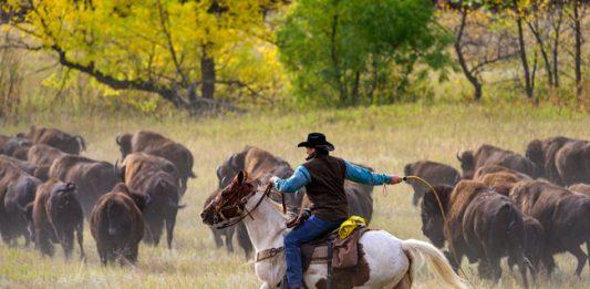 Tatanka Tradition: Buffalo Roundup in South Dakota