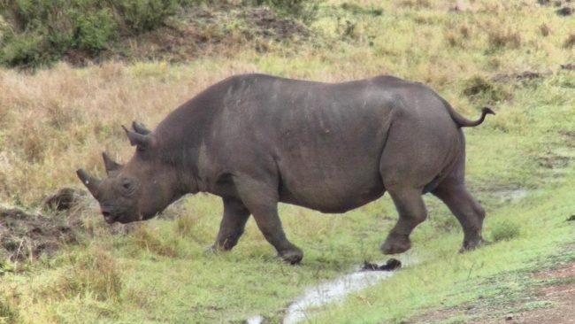 Black rihno in Africa