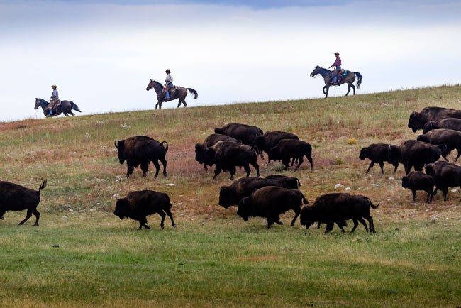 Bison have a long history in North America. Photo by Travel South Dakota