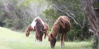 Wild ponies grazing on Assateague Island.