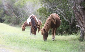Wild ponies grazing on Assateague Island.