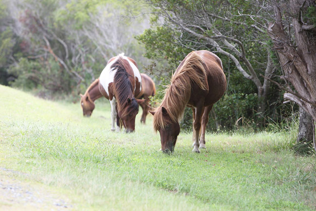 Wild Ponies and Windswept Beaches: Camping on Assateague
