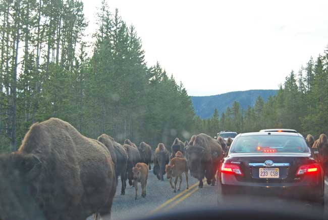 Surrounded by a herd of bison in Yellowstone National Park. Photo by Jennifer Baines