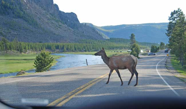 Elk in Yellowstone National Park. Photo by Jennifer Baines
