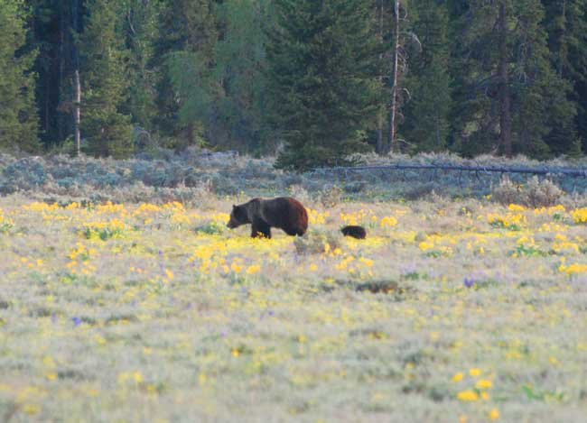 A grizzly bear and her cub in Yellowstone National Park. Photo by Jennifer Baines