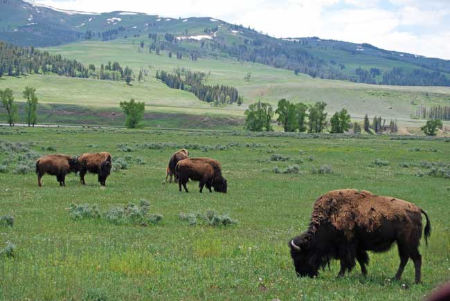 Bison in Lamar Valley in Yellowstone National Park. Photo by Jennifer Baines