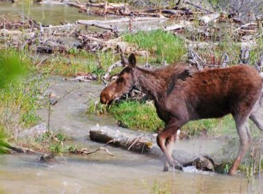 A moose in Yellowstone National Park. Photo by Jennifer Baines