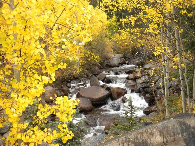 The aspen in Colorado's high country begin to change in early September. Photo by Janna Graber