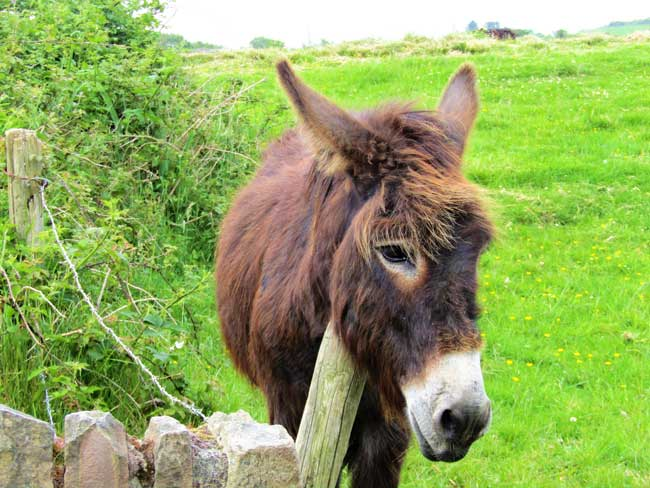 A donkey scratches an itch, on Whiddy Island, one of the West Cork Islands in Ireland. Photo by Rondi Adamson