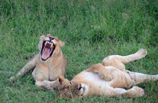 Lions in Zululand